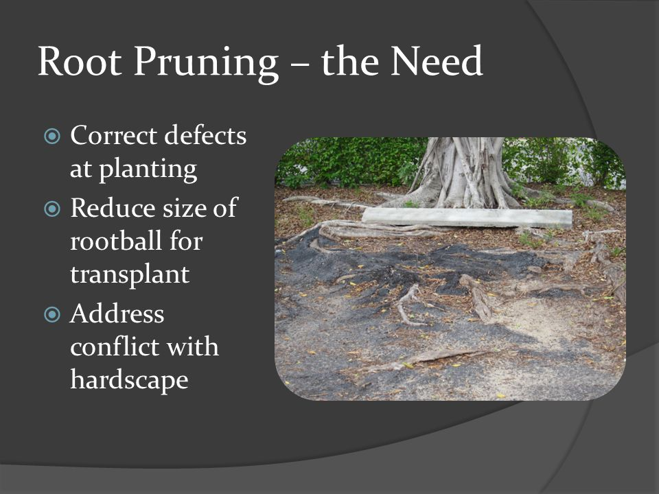 Root Pruning – the Need Correct defects at planting Reduce size of rootball for transplant Address conflict with hardscape