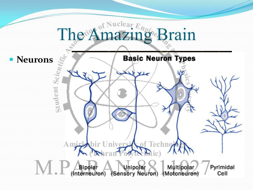 The Amazing Brain Neurons