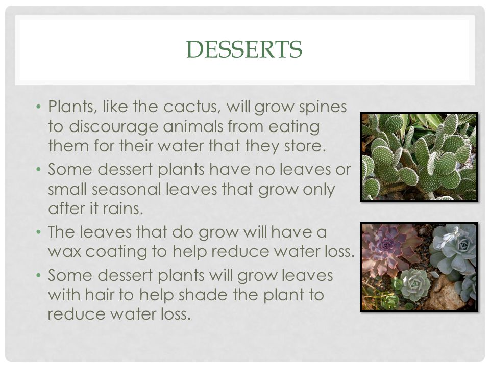 DESSERTS Plants, like the cactus, will grow spines to discourage animals from eating them for their water that they store. Some dessert plants have no