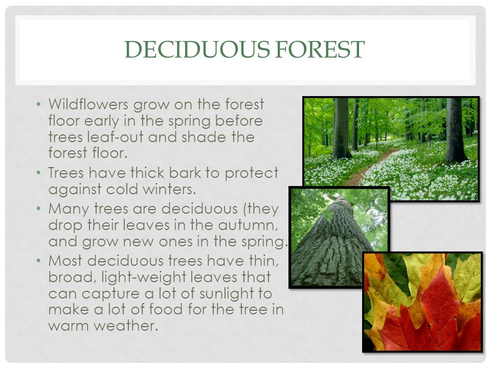 DECIDUOUS FOREST Wildflowers grow on the forest floor early in the spring before trees leaf-out and shade the forest floor. Trees have thick bark to p