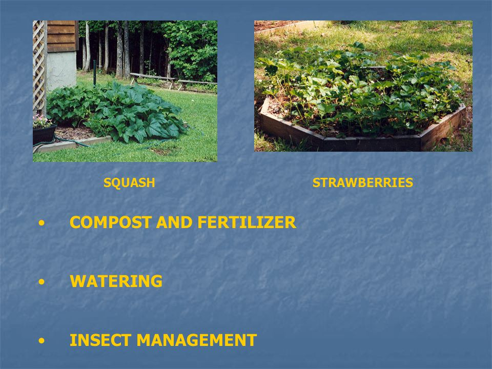 COMPOST AND FERTILIZER WATERING INSECT MANAGEMENT SQUASHSTRAWBERRIES