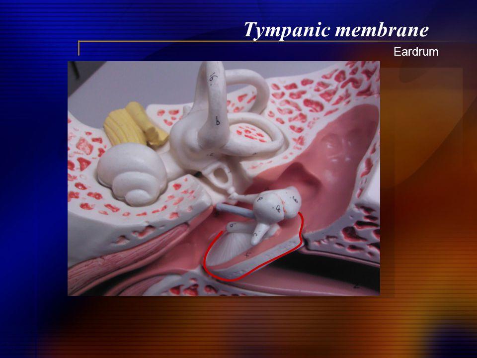 Tympanic membrane Eardrum