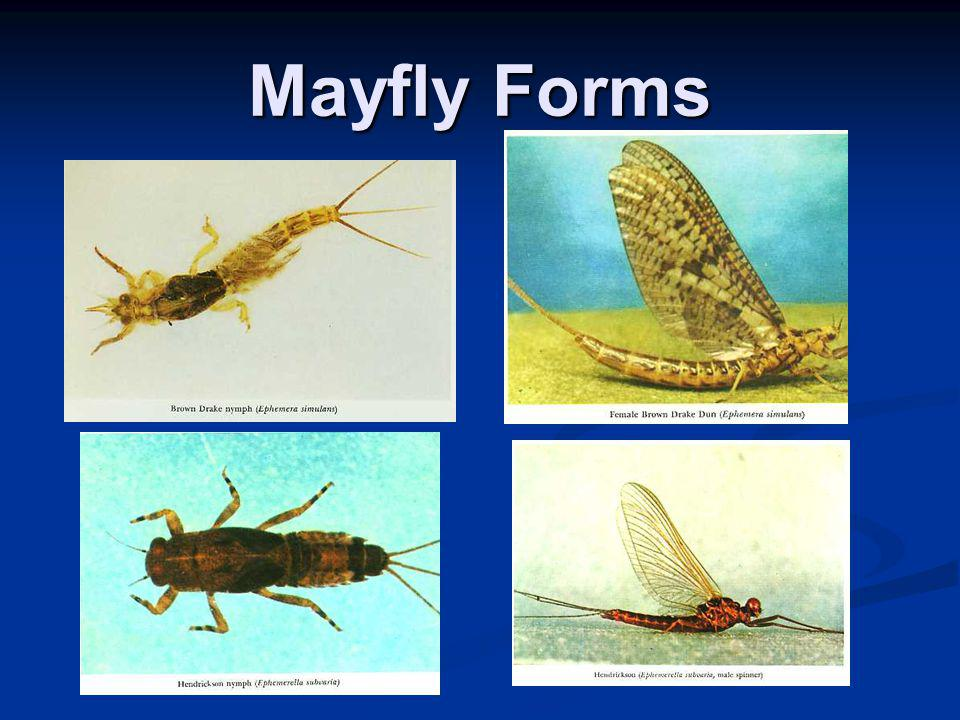 Mayfly Forms