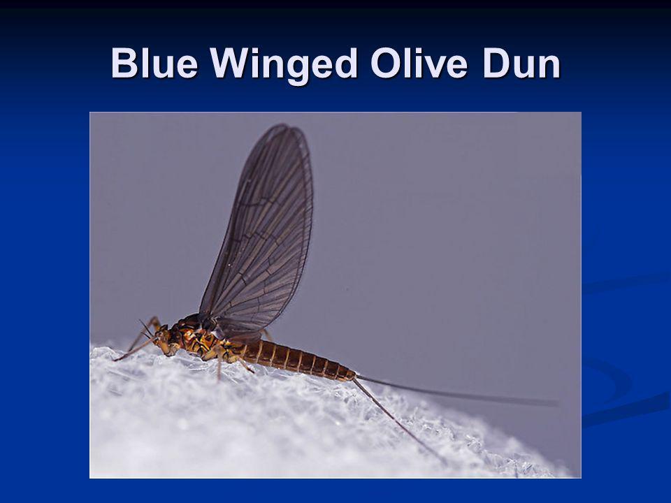 Blue Winged Olive Dun