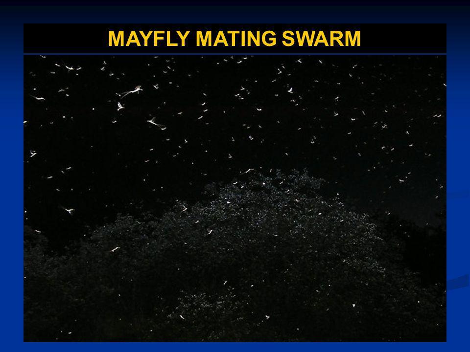 MAYFLY MATING SWARM
