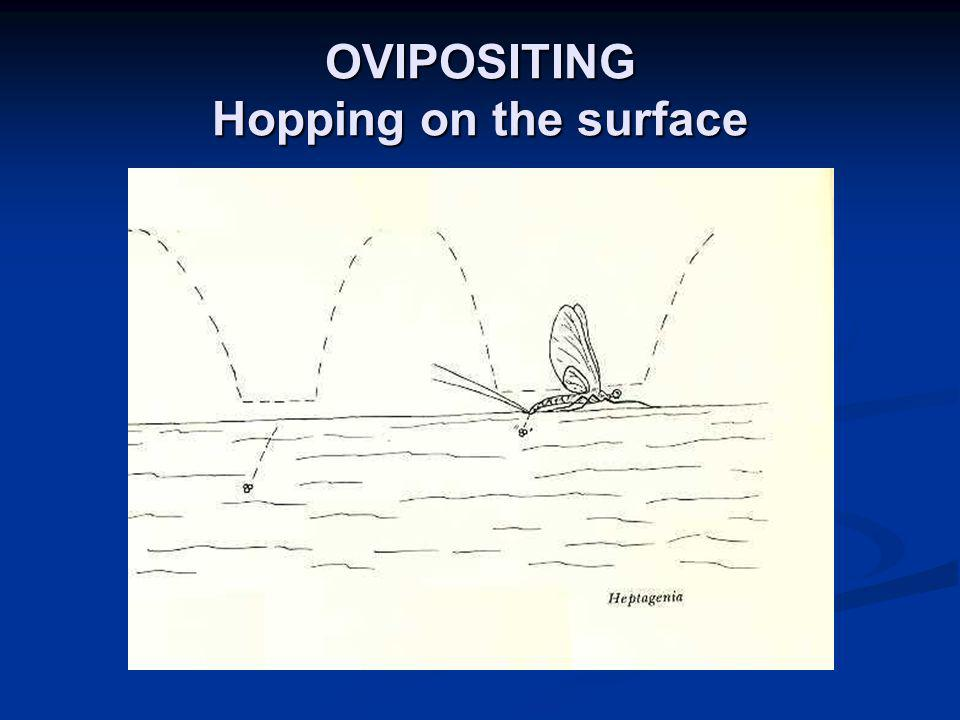 OVIPOSITING Hopping on the surface
