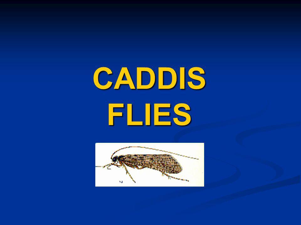CADDIS FLIES