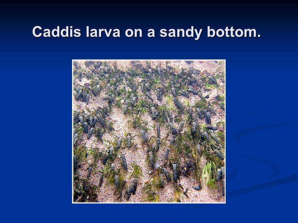 Caddis larva on a sandy bottom.
