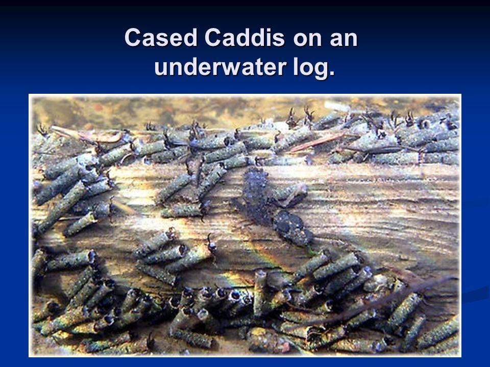 Cased Caddis on an underwater log.