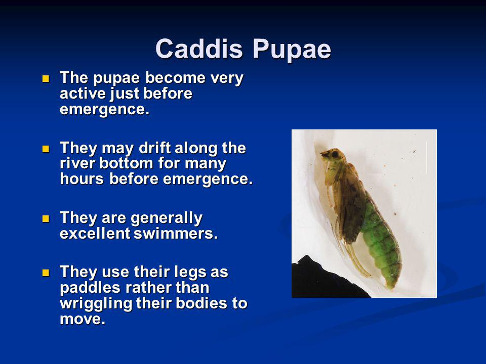 Caddis Pupae The pupae become very active just before emergence. The pupae become very active just before emergence. They may drift along the river bo