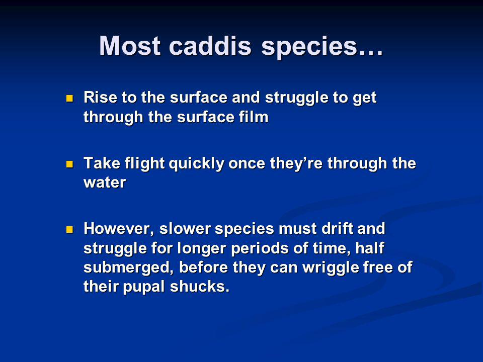 Most caddis species… Rise to the surface and struggle to get through the surface film Rise to the surface and struggle to get through the surface film