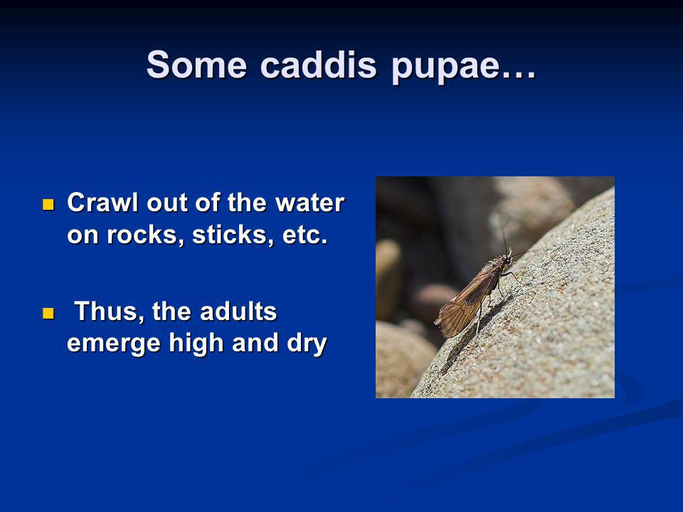 Some caddis pupae… Crawl out of the water on rocks, sticks, etc. Crawl out of the water on rocks, sticks, etc. Thus, the adults emerge high and dry Th