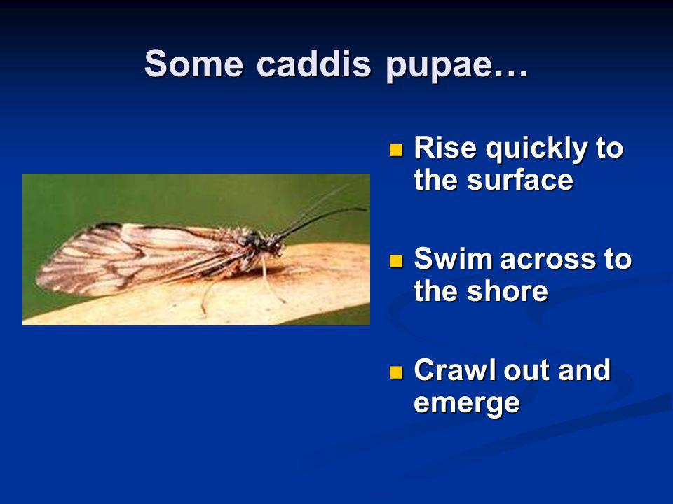 Some caddis pupae… Rise quickly to the surface Rise quickly to the surface Swim across to the shore Swim across to the shore Crawl out and emerge Craw