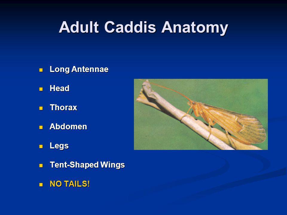 Adult Caddis Anatomy Long Antennae Long Antennae Head Head Thorax Thorax Abdomen Abdomen Legs Legs Tent-Shaped Wings Tent-Shaped Wings NO TAILS.