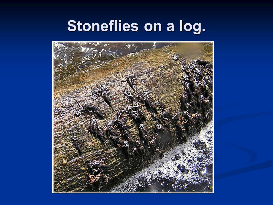 Stoneflies on a log.