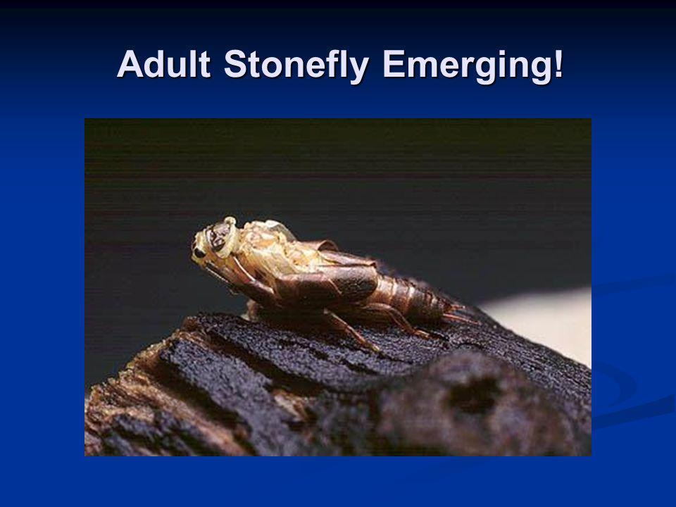 Adult Stonefly Emerging!