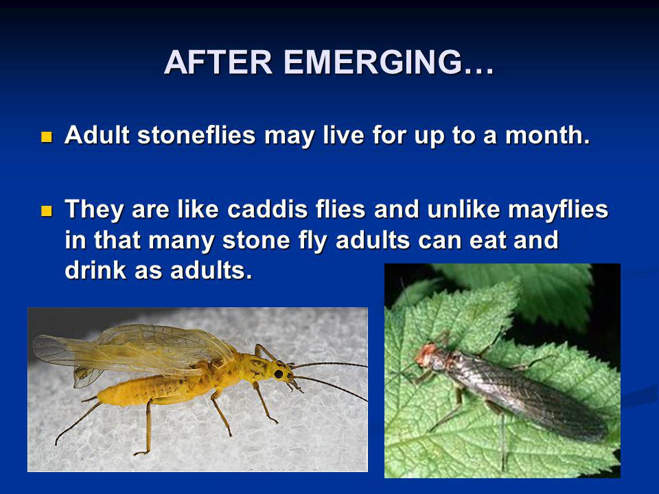 AFTER EMERGING… Adult stoneflies may live for up to a month. Adult stoneflies may live for up to a month. They are like caddis flies and unlike mayfli