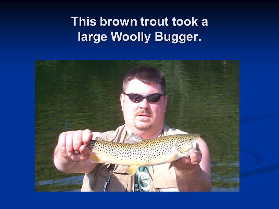 This brown trout took a large Woolly Bugger.