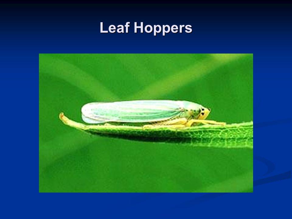 Leaf Hoppers