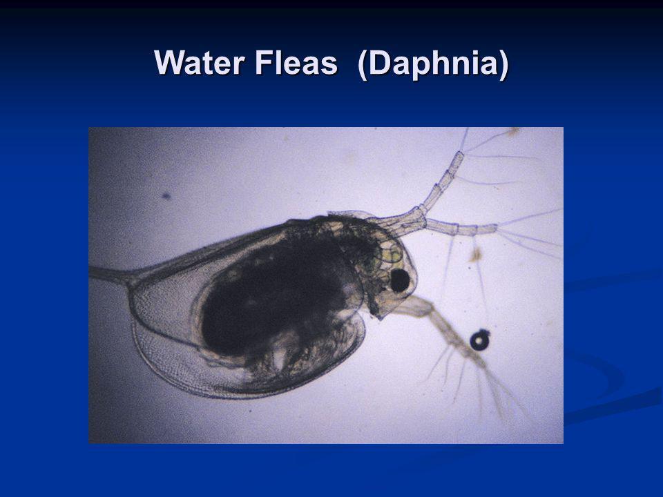 Water Fleas (Daphnia)
