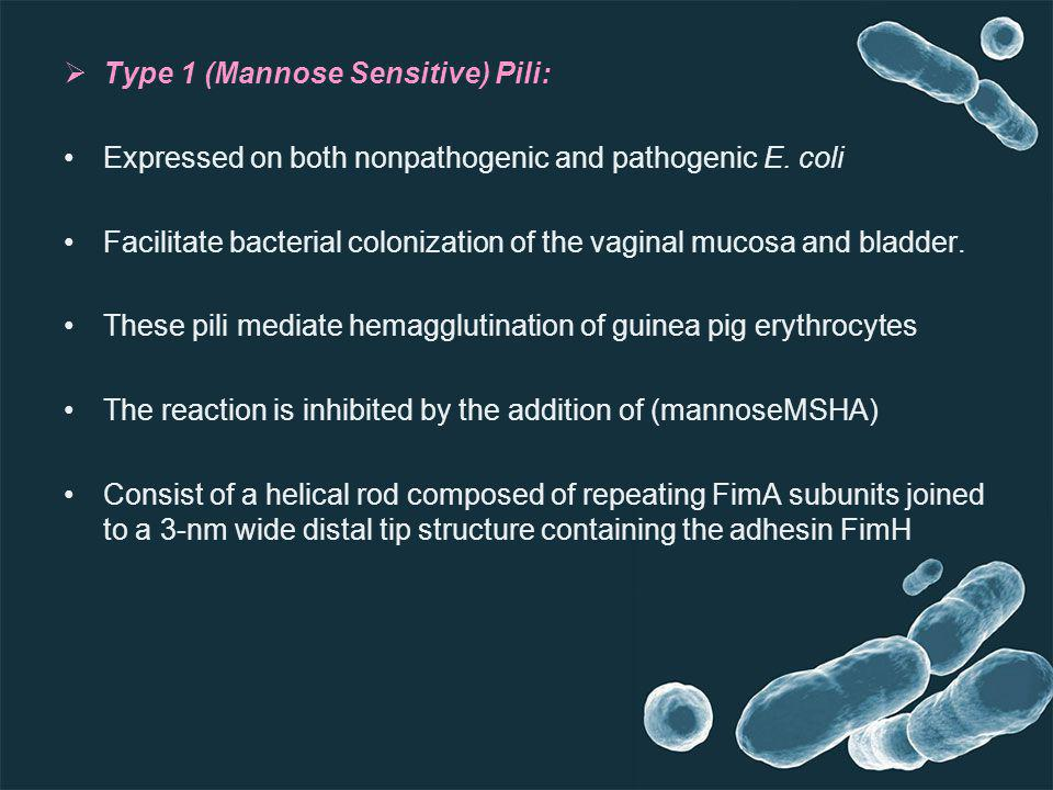Type 1 (Mannose Sensitive) Pili: Expressed on both nonpathogenic and pathogenic E. coli Facilitate bacterial colonization of the vaginal mucosa and bl