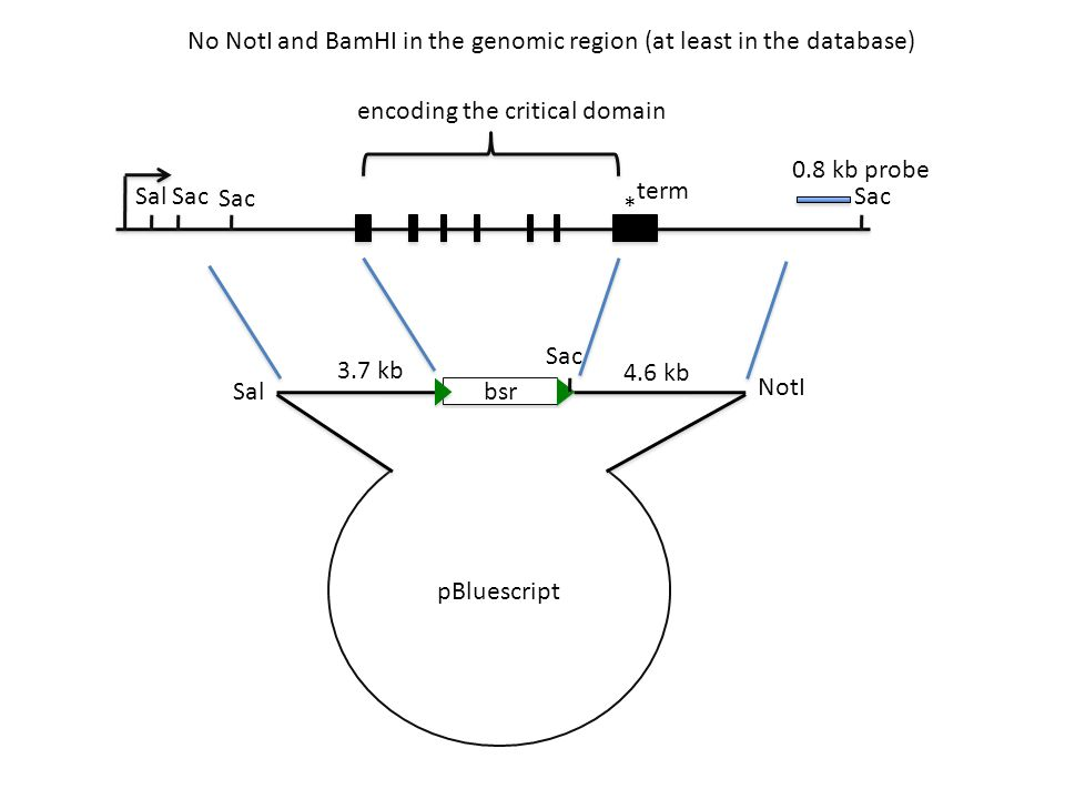 * Sal 3.7 kb 4.6 kb 0.8 kb probe Sac encoding the critical domain term No NotI and BamHI in the genomic region (at least in the database) bsr Sac pBluescript Sal NotI