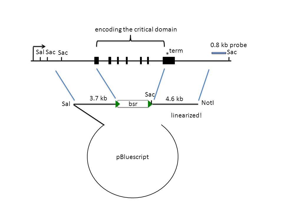 * Sal 3.7 kb 4.6 kb 0.8 kb probe Sac encoding the critical domain term bsr Sac pBluescript Sal NotI linearized!