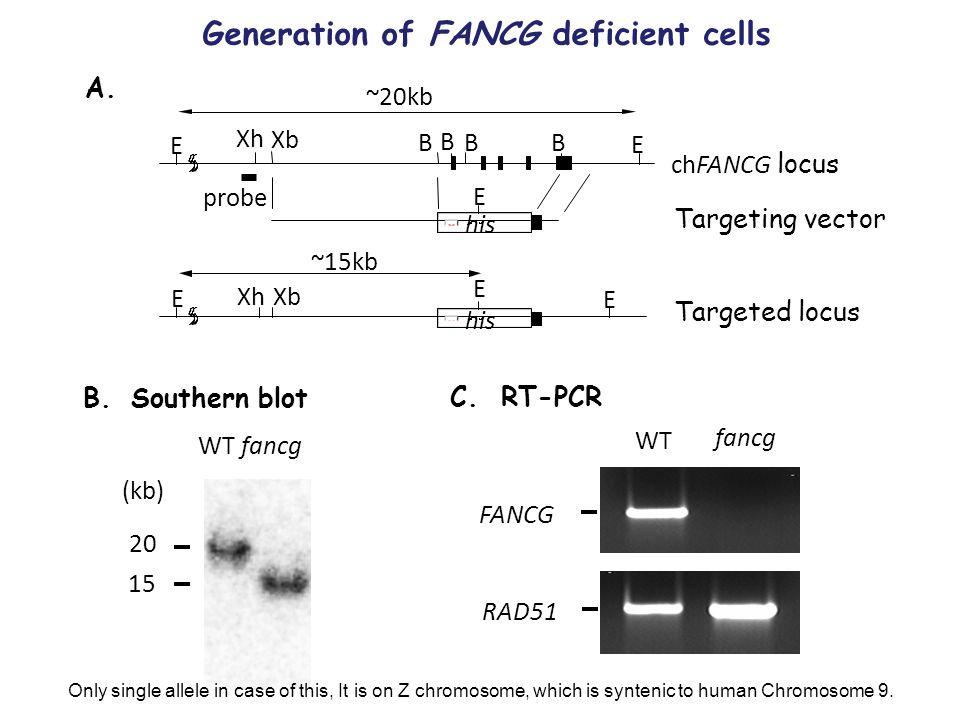 B.Southern blot A. B B B B Xb Xh Targeting vector his E E E ~20kb his E E ~15kb chFANCG locus probe E Targeted locus Xb Xh C. RT-PCR WT fancg (kb) 15