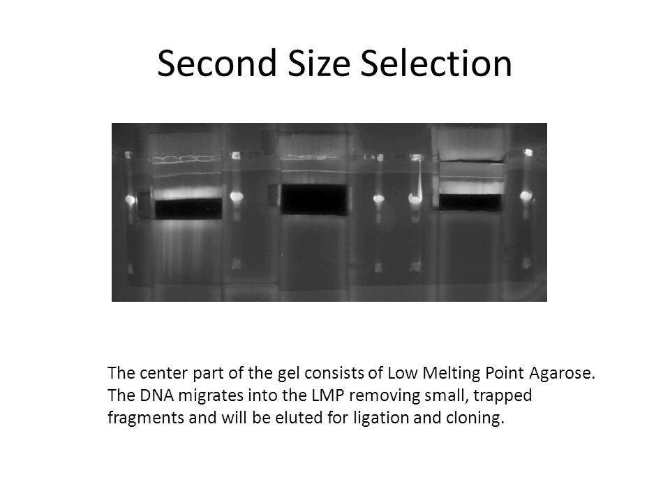 Second Size Selection The center part of the gel consists of Low Melting Point Agarose. The DNA migrates into the LMP removing small, trapped fragment
