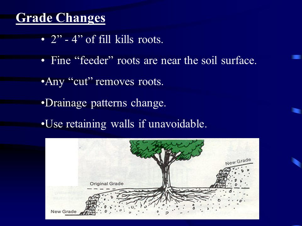 Grade Changes 2 - 4 of fill kills roots. Fine feeder roots are near the soil surface.