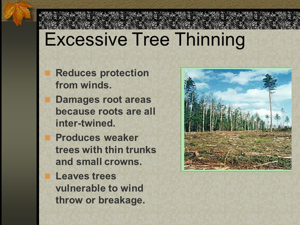 Excessive Tree Thinning Reduces protection from winds. Damages root areas because roots are all inter-twined. Produces weaker trees with thin trunks a