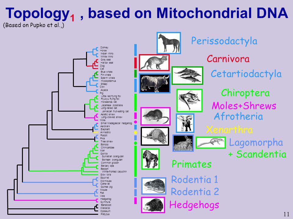 11 Perissodactyla Carnivora Cetartiodactyla Rodentia 1 Hedgehogs Rodentia 2 Primates Chiroptera Moles+Shrews Afrotheria Xenarthra Lagomorpha + Scanden