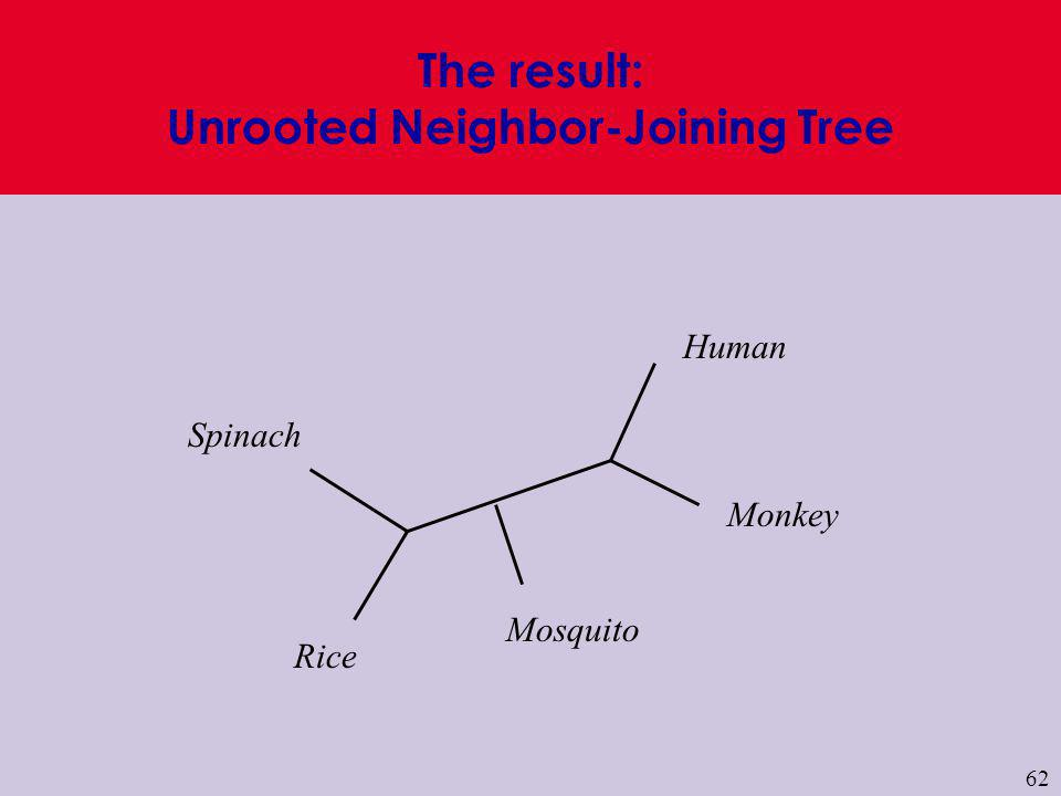 62 Human Monkey Mosquito Rice Spinach The result: Unrooted Neighbor-Joining Tree