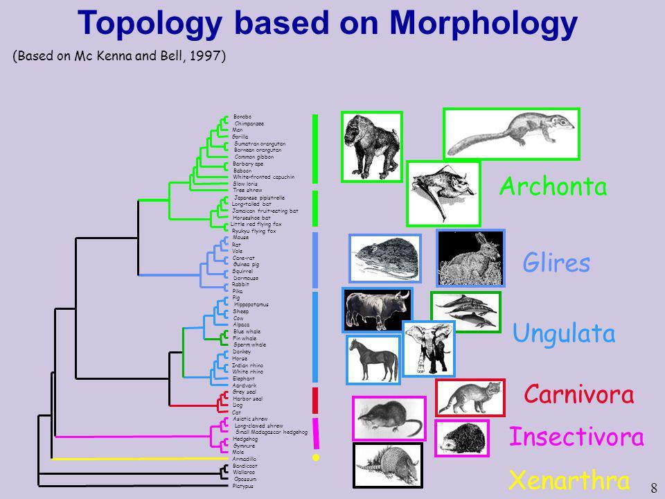 8 Topology based on Morphology Archonta Glires Ungulata Carnivora Insectivora Xenarthra (Based on Mc Kenna and Bell, 1997)