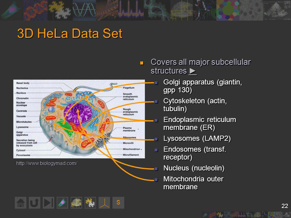 S 22 3D HeLa Data Set Covers all major subcellular structures Covers all major subcellular structures Golgi apparatus (giantin, gpp 130) Golgi apparatus (giantin, gpp 130) Cytoskeleton (actin, tubulin) Cytoskeleton (actin, tubulin) Endoplasmic reticulum membrane (ER) Endoplasmic reticulum membrane (ER) Lysosomes (LAMP2) Lysosomes (LAMP2) Endosomes (transf.