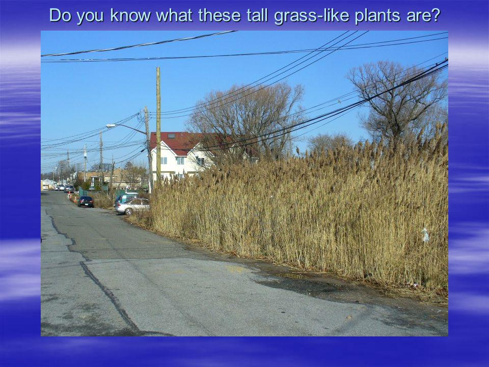 Do you know what these tall grass-like plants are?