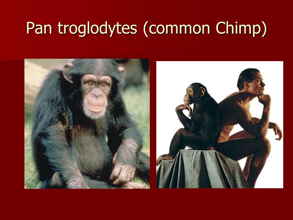 Pan troglodytes (common Chimp)