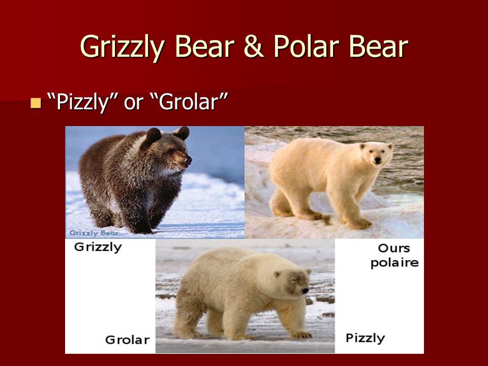 Grizzly Bear & Polar Bear Pizzly or Grolar Pizzly or Grolar
