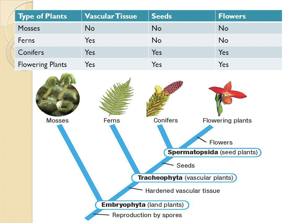 Type of PlantsVascular TissueSeedsFlowers MossesNo FernsYesNo ConifersYes Flowering PlantsYes