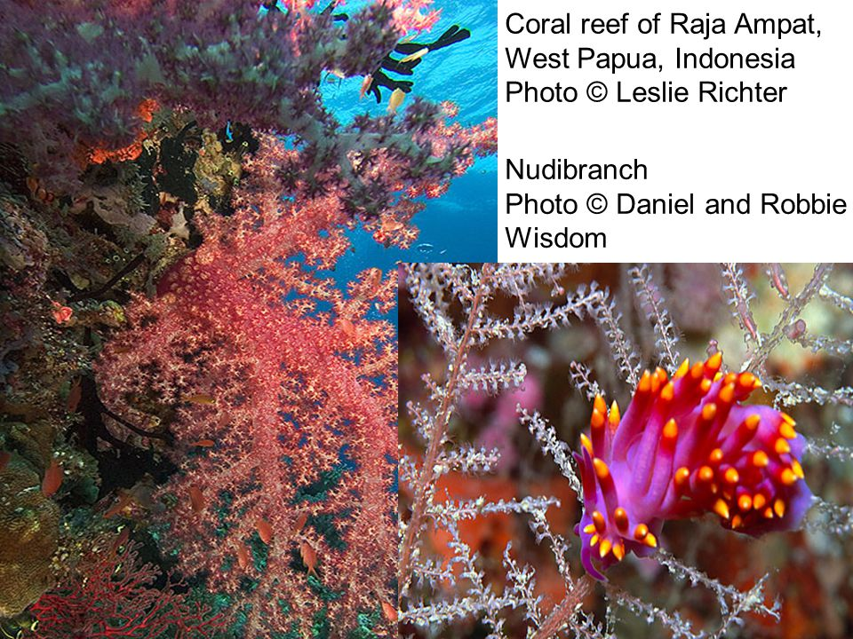 Coral reef of Raja Ampat, West Papua, Indonesia Photo © Leslie Richter Nudibranch Photo © Daniel and Robbie Wisdom
