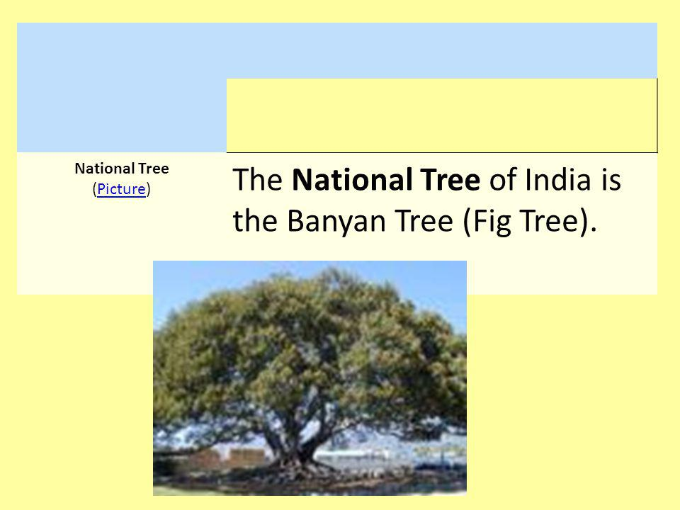 National Tree (Picture)Picture The National Tree of India is the Banyan Tree (Fig Tree).