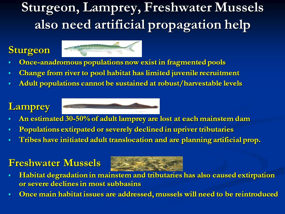 Sturgeon, Lamprey, Freshwater Mussels also need artificial propagation help Sturgeon Once-anadromous populations now exist in fragmented pools Once-anadromous populations now exist in fragmented pools Change from river to pool habitat has limited juvenile recruitment Change from river to pool habitat has limited juvenile recruitment Adult populations cannot be sustained at robust/harvestable levels Adult populations cannot be sustained at robust/harvestable levelsLamprey An estimated 30-50% of adult lamprey are lost at each mainstem dam An estimated 30-50% of adult lamprey are lost at each mainstem dam Populations extirpated or severely declined in upriver tributaries Populations extirpated or severely declined in upriver tributaries Tribes have initiated adult translocation and are planning artificial prop.