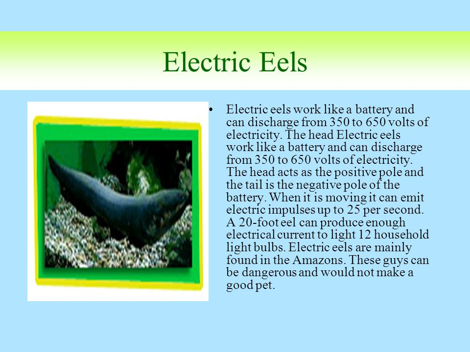 Electric Eels Electric eels work like a battery and can discharge from 350 to 650 volts of electricity. The head Electric eels work like a battery and