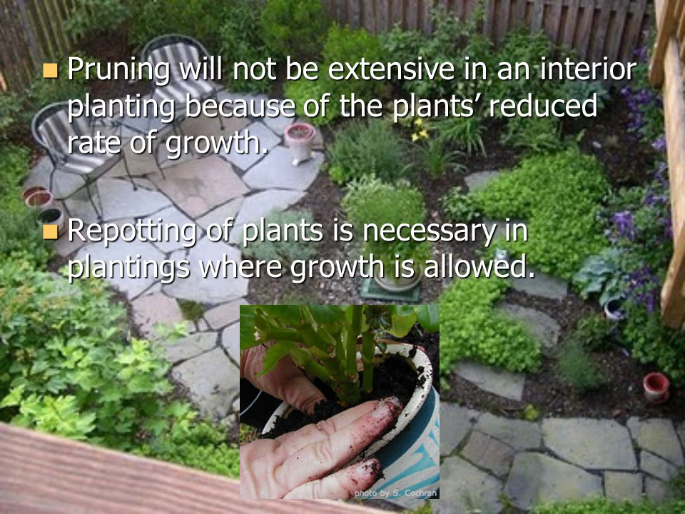 Pruning will not be extensive in an interior planting because of the plants reduced rate of growth.