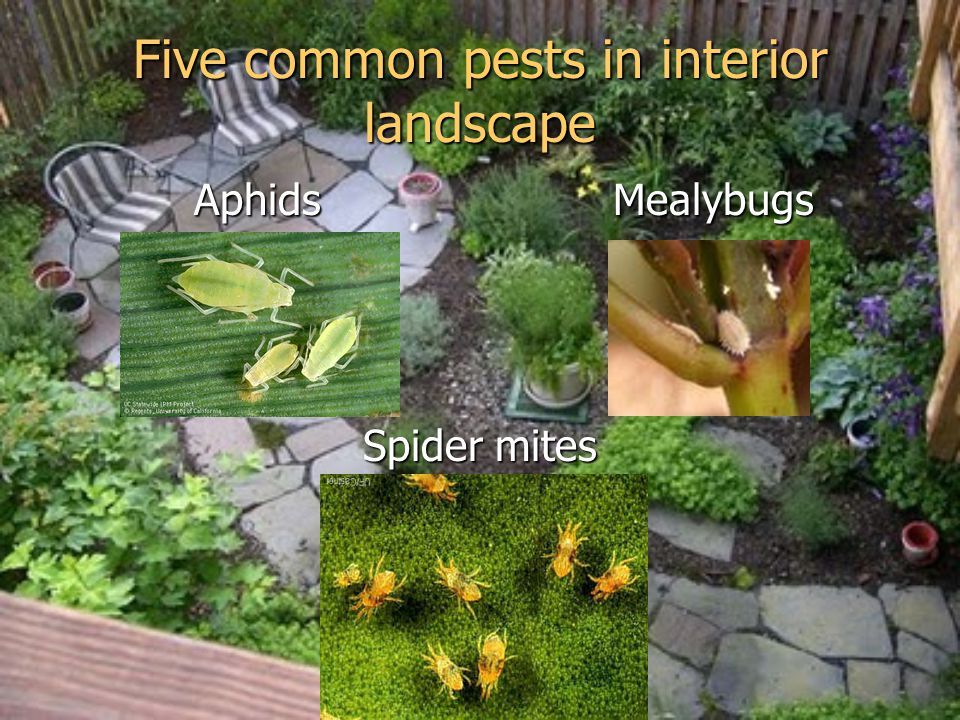 Five common pests in interior landscape Aphids Mealybugs Aphids Mealybugs Spider mites