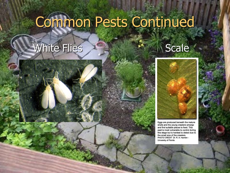 Common Pests Continued White Flies Scale White Flies Scale