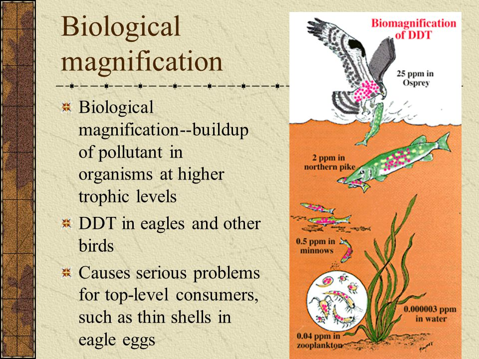 Biological magnification Biological magnification--buildup of pollutant in organisms at higher trophic levels DDT in eagles and other birds Causes ser