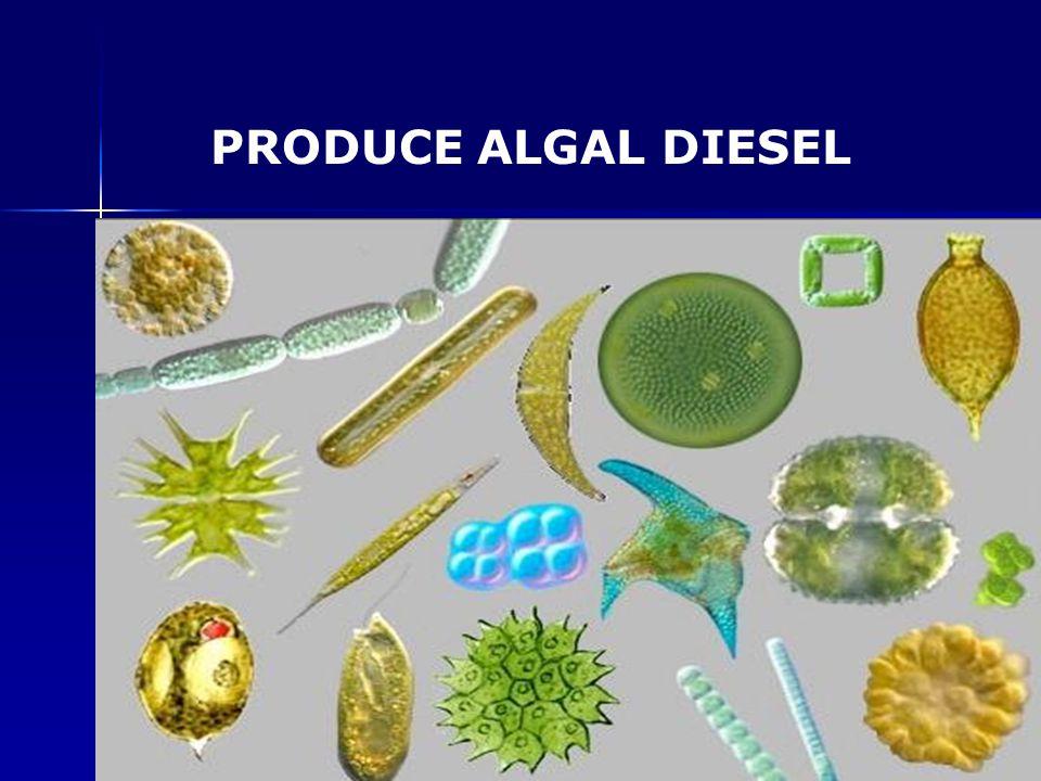 PRODUCE ALGAL DIESEL