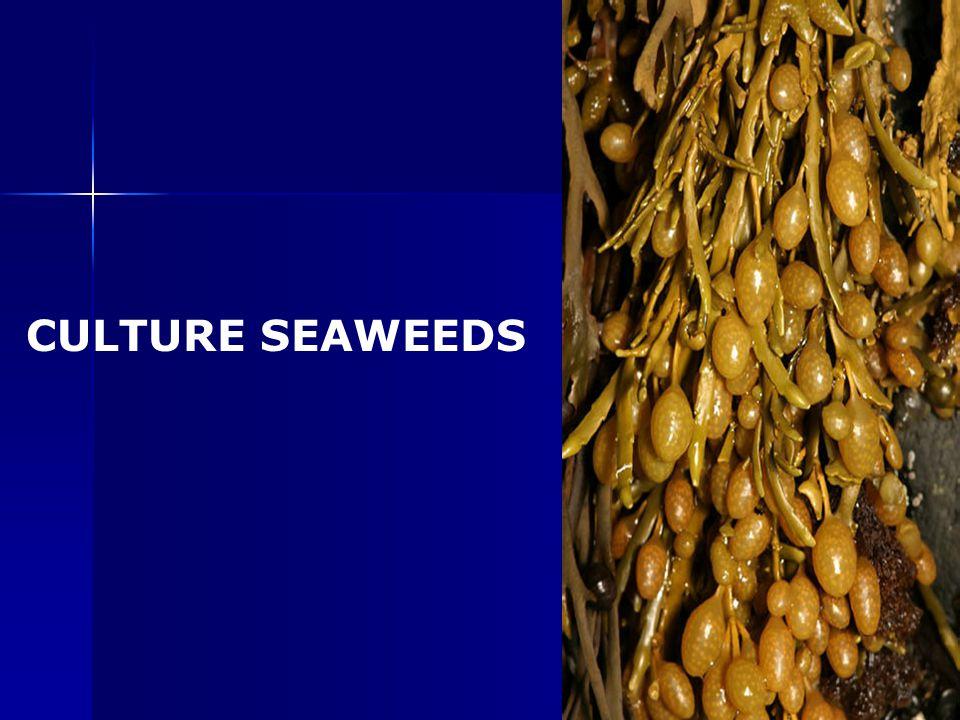 CULTURE SEAWEEDS