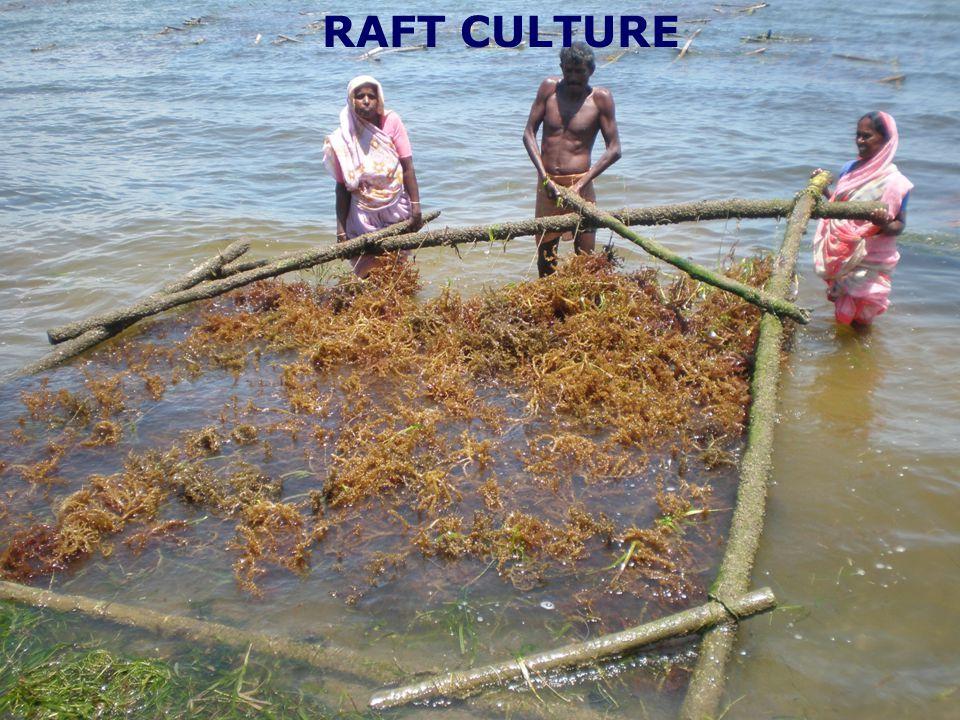 RAFT CULTURE